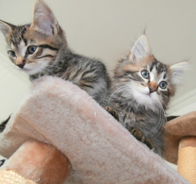 adopter deux chatons